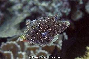 Indian Toby
